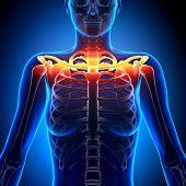 Clavicle Bone Anatomy - Anatomy Bones