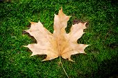 Maple leaf on green moss background