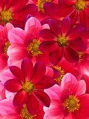 Flowers  Red  Petals