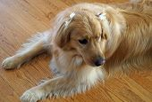 Pretty Dog with Bow