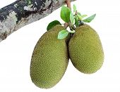 pic of spiky plants  - Jack fruit on jackfruit tree isolated on white background - JPG