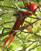 Scarlet macaw feeding in tree, Corcovado National Park
