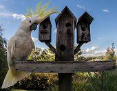 Sulfur Crested Cockatoo on Bird Feeder