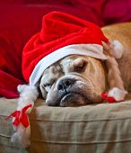 picture of christmas puppy  - a cute bulldog decorated with reindeer asleep after Christmas dinner
