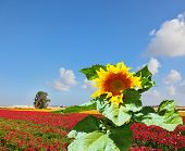 stock photo of buttercup  - The huge picturesque sunflower grows in a field among red blossoming buttercups - JPG