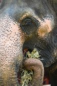 Elephant eats grass - close up