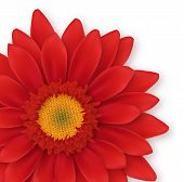 Gerbera Close-up