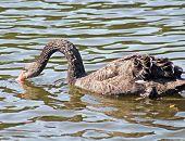 Black Swan Is Drinking Water
