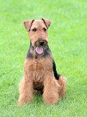 Portrait Of Welsh Terrier In The Garden