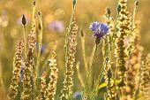 Cornflower in the field