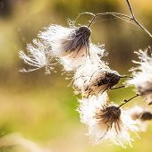 Faded Thistle