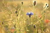 Cornflower at dusk