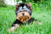 image of yorkshire terrier  - Young yorkshire terrier on the grass outdoors - JPG