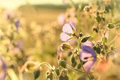 Geranium pratense at dawn