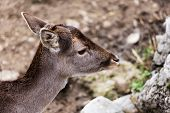 Roe Deer In An Enclosure / Roe Deer