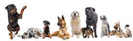 picture of cat dog  - cute rottweiler say hello with his paw to a group of dogs and cat - JPG