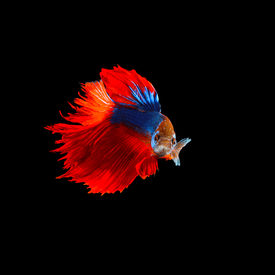 stock photo of fighter-fish  - beautiful of red tail siamese betta fighting fish isolated on black background - JPG