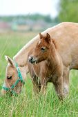foto of pony  - The pony with foal on a pasture - JPG