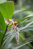 stock photo of century plant  - Blossoms of the medicinal and spice plant ginger  - JPG