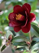 picture of night-blooming  - camelia, night rider  - JPG