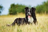 Purebred Border Collie On A Summer Day poster