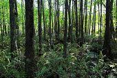 stock photo of mile  - Natural Swamp Landscape at Six Mile Cypress Slough Preserve Fort Myers Florida - JPG