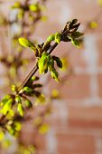pic of yellow buds  - spring yellow fresh buds on a twig - JPG
