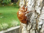 pic of cocoon tree  - a cicada - JPG