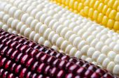picture of corn cob close-up  - Photo cobs of corn lying on the table - JPG