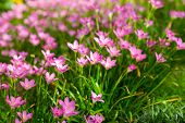 foto of lily  - Pink Zephyranthes Lily Rain Lily Fairy Lily and Little Witches in the garden - JPG