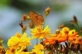 pic of butterfly flowers  - butterfly on yellow cosmos flower in the park focus on middle flower and butterfly