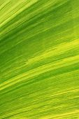 picture of banana tree  - texture of banana leaf from banana tree inside the park - JPG