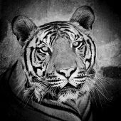 foto of tigress  - close up of a tiger - JPG