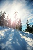 picture of conifers  - Winter landscape conifers with the Sun shining thrue - JPG