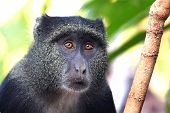 picture of canopy  - Portrait of a blue diademed monkey Cercopithecus mitis between the vegetation - JPG