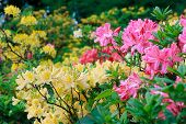 foto of azalea  - Blossoming of pink and yellow rhododendrons and azaleas in the garden natural flower background - JPG