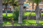 picture of arena  - Bright green lawn around pandus under palm trees above Arena beach in Puerto de Santiago on Tenerife Island Canary - JPG
