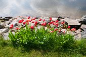 Beautiful Tulips In Garden