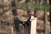 image of nesting box  - Male and female wood duck on a nest box at a pond in midwest United States  - JPG