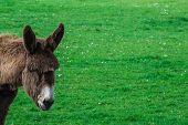 stock photo of donkey  - Donkey peeking in whiel at the meadow - JPG