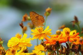picture of cosmos flowers  - butterfly on yellow cosmos flower in the park focus on middle flower and butterfly  - JPG
