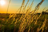 stock photo of dry grass  - Beautiful golden sunrise on the dry grass in the summer - JPG