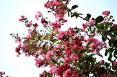 picture of crepe myrtle  - Pink colored crepe myrtle blooms in morning light - JPG