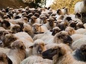 Large Herd Of Sheep