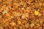 Piles Of Golden Autumn Leaves