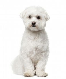 image of maltese  - Maltese sitting in front of a white background - JPG