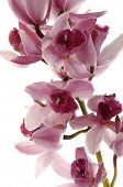 Pink and purple orchids isolated on white background