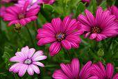 stock photo of beautiful flower  - beautiful purple daisy flowers - JPG