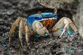 Blue land crab (Cardisoma guanhumi) guarding the burrow. Cahuita National Park, Costa Rica poster