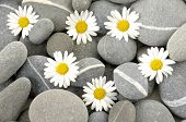 picture of six-petaled  - Six white marigold flower on pebbles - JPG